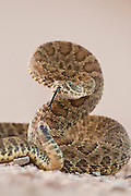 Prairie rattlesnake in South Dakota