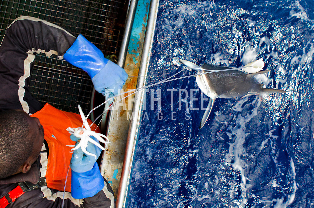 Crew from the spanish longliner, Hermanos Labaen A Guarda pulls in a silky shark ( Carcharhinus falciformis )  in the Mozambique channel, 21st September 2012. The unregulated plunder of the Indian Ocean is a crisis Greenpeace is exploring. Greenpeace's ship, the Rainbow Warrior, is on a mission in the Indian Ocean to expose overfishing and to highlight the problems associated with excessive tuna fishing, unsustainable or illegal fishing practices, the lack of law enforcement, and the need for countries to cooperate and ensure that communities benefit from the wealth of their oceans in future. From 7 to 23 of September the Rainbow Warrior is sailing in Mozambican waters with fisheries enforcement officials on board in order to carry out joint surveillance and expose cases of illegal fishery. Photo: Paul Hilton / Greenpeace Over 100 million sharks are killed each year for the fin trade. Hong Kong, Singapore and China are the biggest consumers of shark fin globally. Indonesia is the biggest exported of shark fins annually. Photo: Paul Hilton for Earth Tree Images