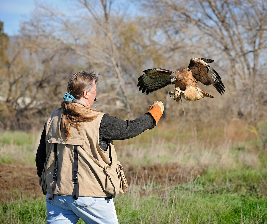 The Red-tailed Hawk is one of the most widely distributed hawks in the Americas. It breeds from central Alaska, the Yukon, and the Northwest Territories east to southern Quebec and the Maritime Provinces of Canada, and south to Florida, the West Indies, and Central America. The winter range stretches from southern Canada south throughout the remainder of the breeding range.[6]