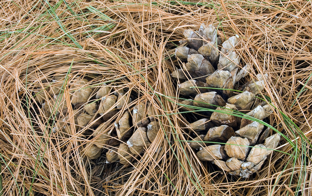 Pine Cones Buried under Pine Needles