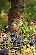 Green harvested grapes dumped on the ground. Bunches of ripe grapes. Pinot Noir. Beaune, Cote d'Or, Burgundy, France