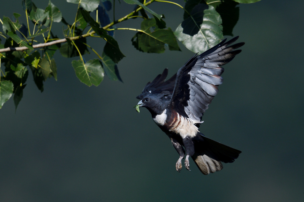 Black Baza, Aviceda leuphotes, flying with an insect it has caught, Guangshui, Hubei province, China