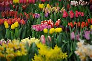 Koning Willem Alexander opent Lentetuin Breezand. Ruim veertig kwekers uit de kop van Noord-Holland tonen ieder jaar in deze bolbloemenshow een variëteit van hun bloemen. Het thema van het evenement is dit jaar de viering van 200 jaar Koninkrijk. <br /> <br /> King Willem Alexander opens Lentetuin Breezand. Over forty growers from the head of North Holland show every year in this bulb flower show a variety of their flowers. The theme of the event this year is the celebration of 200 years of Kingdom.