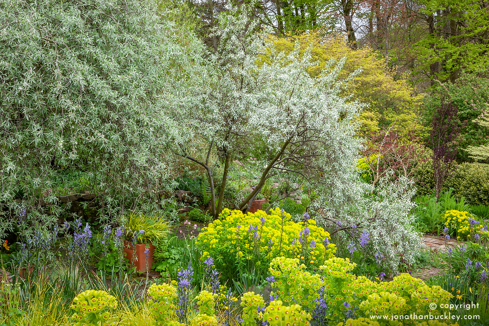 Elaeagnus angustifolia 'Quicksilver' and Pyrus salicifolia 'Pendula' - weeping pear - with euphorbias in the brick garden at Glebe Cottage