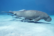 dugong or sea cow, Dugong dugon, Endangered Species, covered with sharksuckers ( remoras ), Echeneis naucrates, Vanuatu, South Pacific