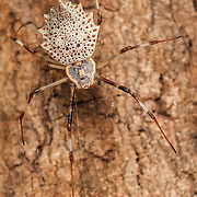 A species of spider in the family Araneidae native to Asia. It exhibits sexual dimorphism, the female being much larger than the male. It weaves a small web on the trunk of a tree or the wall of a building and is well camouflaged by its dappled colouration.