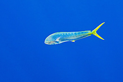 free-swimming mahi mahi, common dolphinfish or dorado, Coryphaena hippurus, cow, off Kona Coast, Big Island, Hawaii, Pacific Ocean