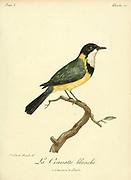 CRAVATTE BLANCHE [CRAVATE BLANCHE] from the Book Histoire naturelle des oiseaux d'Afrique [Natural History of birds of Africa] Volume 3, by Le Vaillant, François, 1753-1824; Publish in Paris by Chez J.J. Fuchs, libraire 1799 - 1802