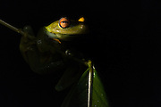 Tree Frog (Hypsiboas cinerascens)<br /> Rain Forest<br /> Iwokrama Reserve<br /> GUYANA<br /> South America