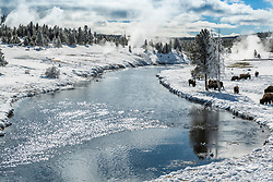 On winter day in Yellowstone bison browse along the Firehole River with thermal features steaming all around