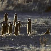 Suricate or Meerkat, (Suricata suricatta) Watching for danger and warming selves in morning sun. Kalahari Desert. Africa.