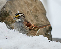 White-throated Sparrow (Zonotrichia albicollis). Image taken with a Leica SL2 camera and Sigma 100-400 mm lens.