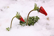 Israel, red Anemone coronaria AKA Spanish marigold grows in the snow Photographed in Israel