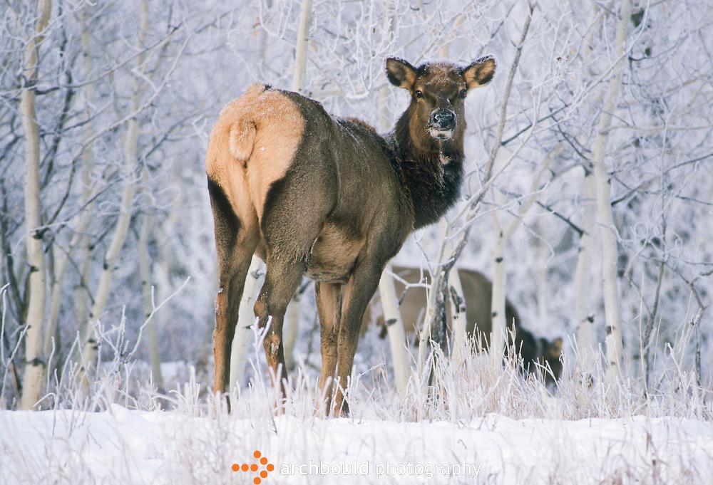 Elk in the Yukon