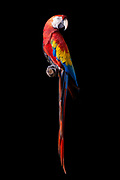 Scarlet Macaw (Ara macao). Scarlett once lived with an aging mad scientist and his collection of exotic animals. There, Scarlett injured her wing, it healed poorly, and she is now unable to fly.