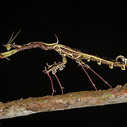 A species of Praying Mantis that mimics a piece of vegetation.