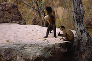 Brown Capuchin Monkey Tool Using<br /> Cebus apella<br /> Cerrado Habitat, Piaui State.  BRAZIL.  South America<br /> They use rocks to crack open palm nuts - returning to the same anvils to do this