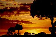Sun rising behind profile of trees and zebra; Masai Mara Nature Reserve; Kenya, Africa