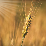 """Silky Gold"" <br />