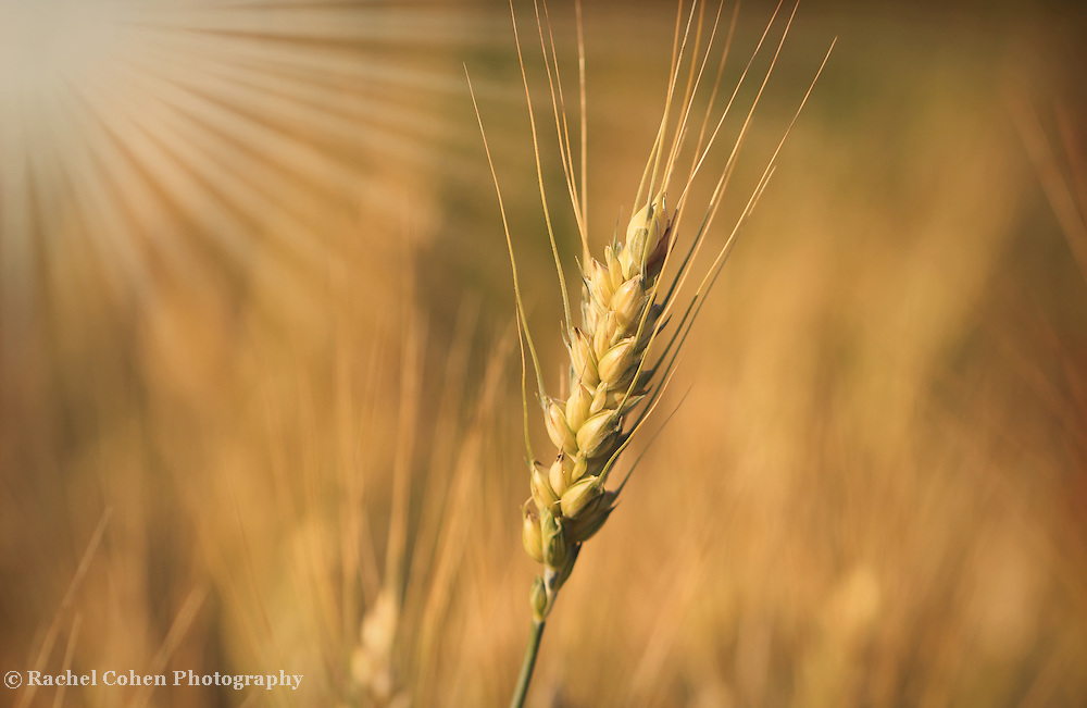 """""""Silky Gold"""" <br /> <br /> Gorgeous golden wheat and sunbeams!"""