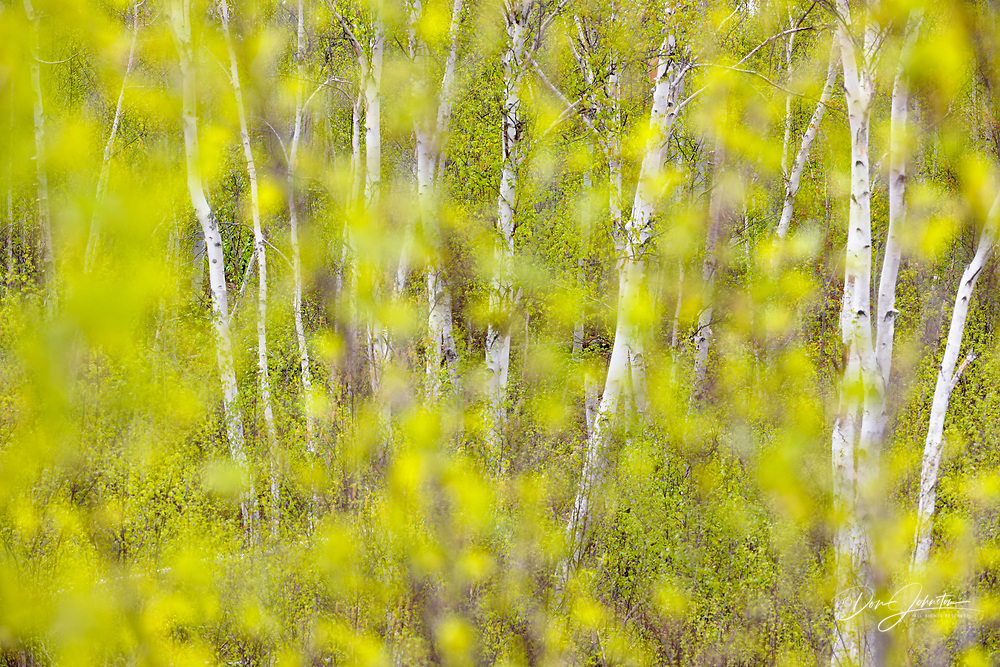 Emerging foliage in young white birch trees, Greater Sudbury , Ontario, Canada