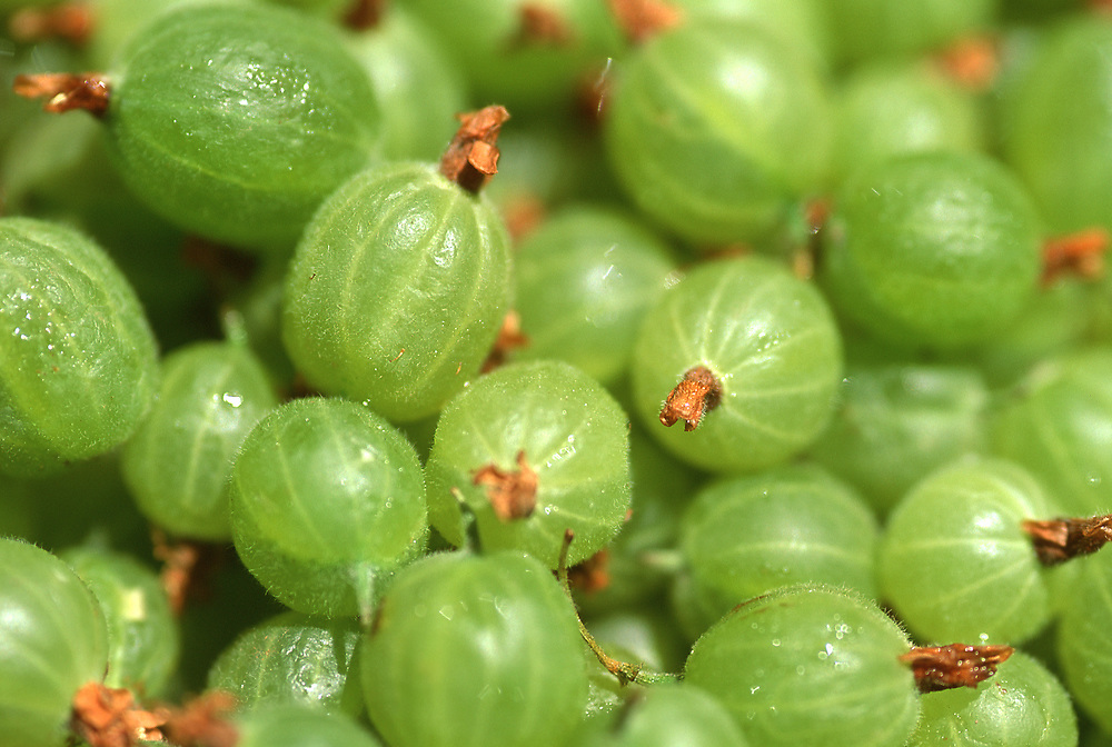 Close up selective focus photo of a pile of Gooseberries