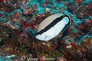 bandit angelfish or banded angelfish, Apolemichthys arcuatus, Hawaiian endemic species found only in the Hawaiian archipelago, Lehua Ledges dive site, Lehua Rock, near Niihau, off Kauai, Hawaii, USA ( Central Pacific Ocean )