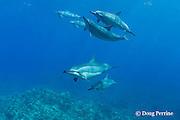 Hawaiian spinner dolphins or Gray's spinner dolphin, Stenella longirostris longirostris, swim over coral reef, <br /> Kona, Hawaii ( Big Island ), USA ( Central Pacific Ocean )