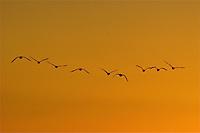 Geese at sunset, Shawnee Mission Park, Kansas