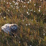 Snowy Owl (Bubo scandiacus) nearly fledged chick in cotton grass. Barrow, Alaska