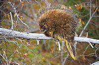 Porcupine on a fallen tree