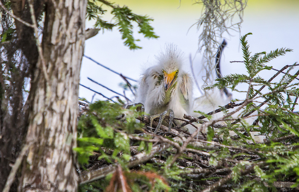 Baby great egrets in a nest at Lake Penchant
