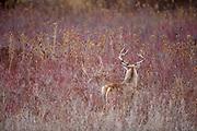 Whitetail deer (Odocoileus virginianus) buck during autumn rut in Montana