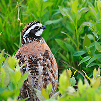 An adult male northern bobwhite (Colinus virginianus) calls amongst the vegetation on the Big Meadow, Shenandoah National Park, Virginia.