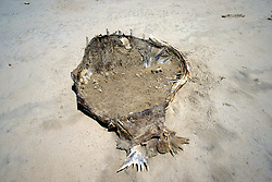 Remains Of Carapace