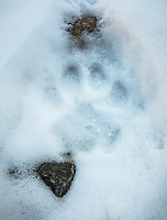 Snow Leopard, Panthera uncia, pugmark in the snow.
