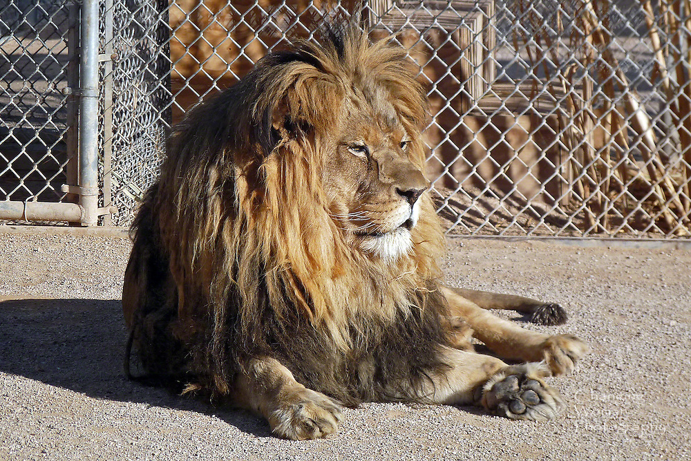 Magnificent Tiki, great grandson of the MGM movie mascot, presides over the Lion Habitat Ranch in Las Vegas, Nevada.