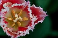 Pink Fringed Tulip Close-up
