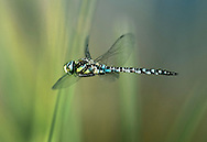 Migrant Hawker Dragonfly - Aeshna mixta - In flight