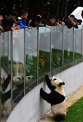 CHANGCHUN, Oct. 4, 2016 (Xinhua) -- People look at giant panda ''Meng Meng'' at the panda hall of Siberian Tiger Park in Changchun, northeast China's Jilin Province, Oct. 4, 2016. Giant pandas ''Meng Meng'' and ''Jia Jia'' attracted a large number of tourists during the National Day holiday. (Xinhua/Lin Hong)(mcg) (Credit Image: © Lin Hong/Xinhua via ZUMA Wire)