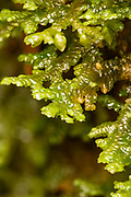 Tree-Ruffle Liverwort; Descending mat strongly arching out from trunk, Pinnately branched. Olive-green; overlapping like reversed shingles with underleaves
