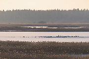 Wintering swans (Cygnus olor) and other waterbirds flocks over remaining open water in frozen landscape of ice and reeds in lake Kaņieris, Kemeri National Park (Ķemeru Nacionālais parks), Latvia Ⓒ Davis Ulands | davisulands.com