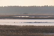 Wintering swans (Cygnus olor) and other waterbirds flocks over remaining open water in frozen landscape of ice and reeds in lake Kaņieris, Kemeri National Park (Ķemeru Nacionālais parks), Latvia Ⓒ Davis Ulands   davisulands.com