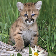 Mountain Lion or Cougar cub near blooming Daisy flowers in Montana. Captive Animal