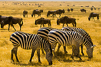 Large numbers of zebra and blue wildebeest (gnu), Ngorongoro Crater, Ngorongoro Conservation Area, Tanzania