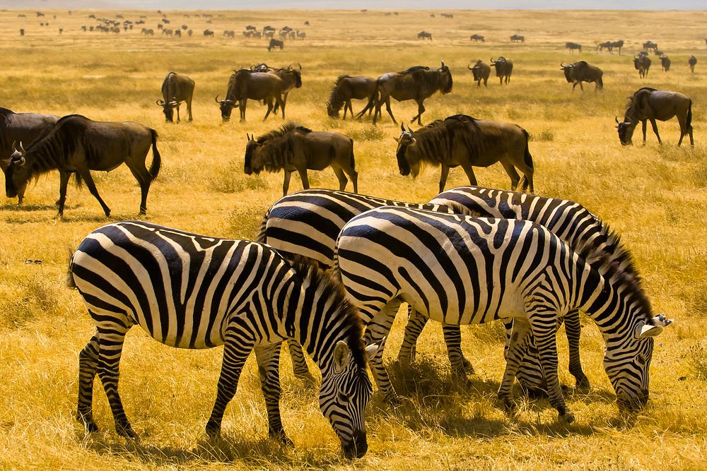Large numbers of zebra and blue wildebeest (gnu), Ngorongoro Crater, Ngorongoro Conservation Area, Tanzania