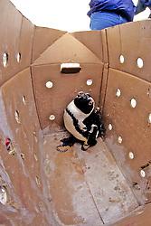 Injured African Penguin