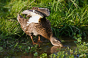 Female Mallard Duck drinking water from a stream, The Cotswolds, Oxfordshire