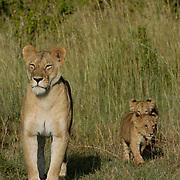 African Lion (Panthera leo) Mother with cubs. Masai Mara National Park. Kenya. Africa.