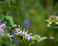 Clearwing Snowberry Moth (Hemaris diffinis). Image taken with a Nikon Df camera and 300 mm f/4  lens